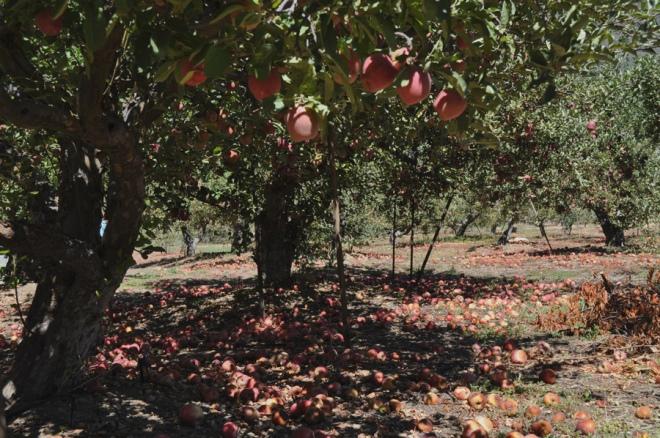 snow-line orchard
