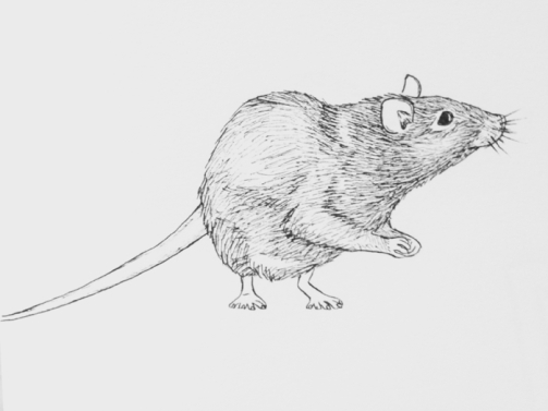 rat drawing